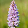 Common Spotted Orchid - Dactylorhiza fuchsii by Dave Kilbey