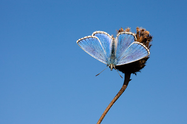 Adonis Blue butterfly  - Lysandra bellargus - photo by Dave Kilbey