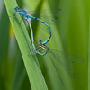 Pair of Azure Damselflies mating. Photo by Dave Kilbey