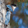 Azure winged Magpie or Iberian Magpie by Dave Kilbey - Photographed in Spain