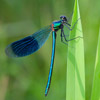 male banded demoiselle - Calopteryx splendens - damselfly.  Photo by Dave Kilbey