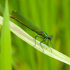 Female Banded Demoiselle.  Photo by Dave Kilbey