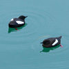 Pair of black guillemots on the water