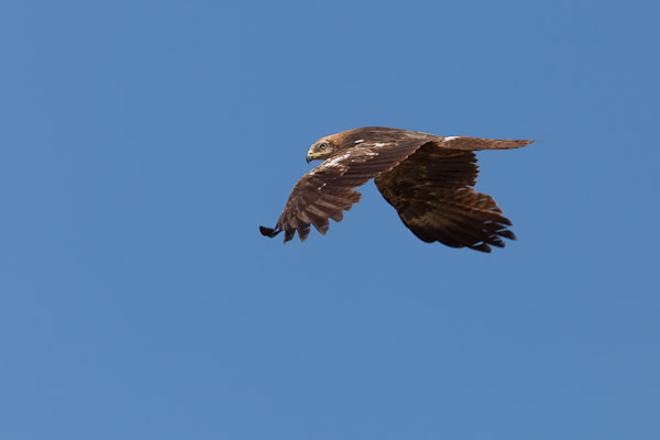 Black Kite in flight - Dave Kilbey