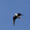 Black winged Stilt in flight - Himantopus himantopus - Spain.  Photo by Dave Kilbey