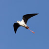 Black winged Stilt calling in flight - Himantopus himantopus - Spain.  Photo by Dave Kilbey