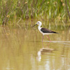 Black-winged Stilt - Dave Kilbey