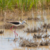 Black winged Stilt feeding in a lagoon - Spain - Photo by Dave Kilbey