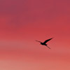 Black-winged Stilt in flight at sunrise - Spain - Photo by Dave Kilbey