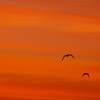 Black winged Stilt in flight at sunrise - Spain - Photo by Dave Kilbey