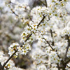 Blackthorn in blossom