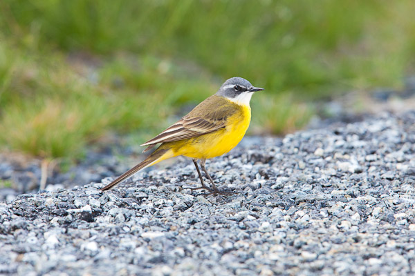 Blue-headed Wagtail in the Sierra de Gredos - Dave Kilbey