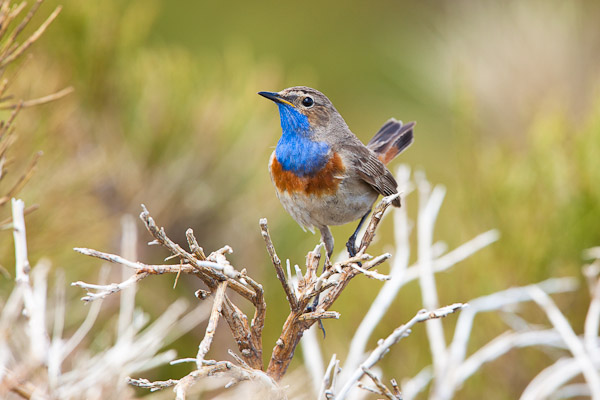 Bluethroat by Dave Kilbey