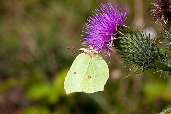 Brimstone butterfly - Photo by Dave kilbey