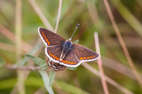 Brown Argus butterfly - Photo by Dave Kilbey