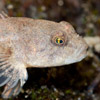 Bullhead - freshwater fish - photo by Dave Kilbey