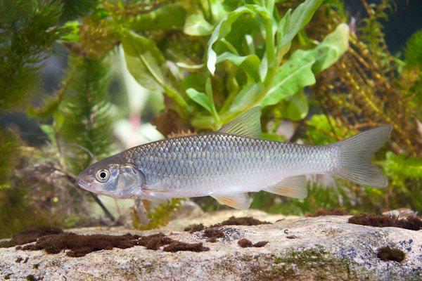 Chub - freshwater fish - photo by Dave Kilbey