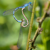 Common Blue Damselfly - Dave Kilbey