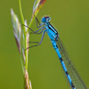 Common Blue Damselfly by Dave Kilbey Photography