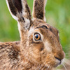 Close up of adult brown hare