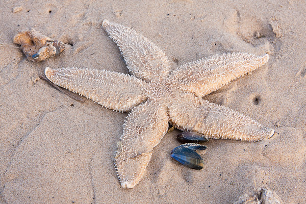 Common Starfish by Dave Kilbey