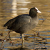 Common Coot  by Dave Kilbey