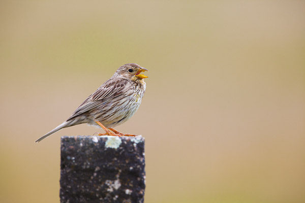 Corn Bunting singing on a post - Dave Kilbey