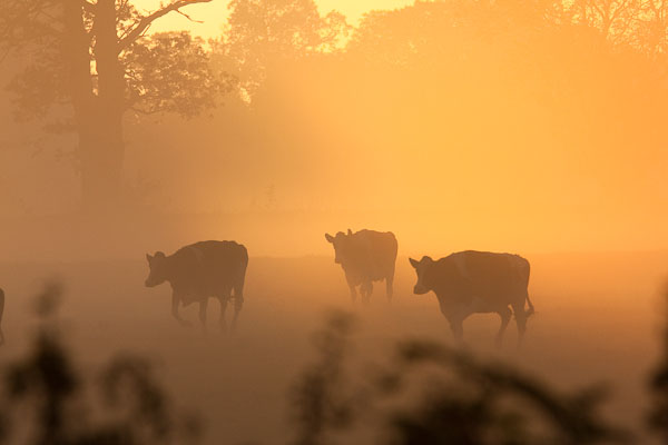 Cows at Sunrise