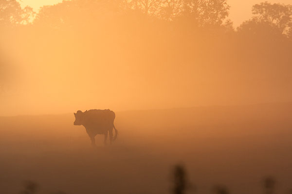 Cow at Sunrise