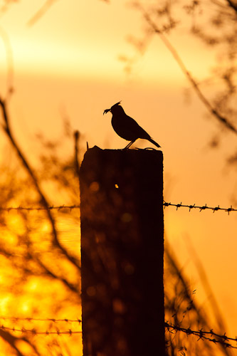 Crested Lark at sunset - Dave Kilbey
