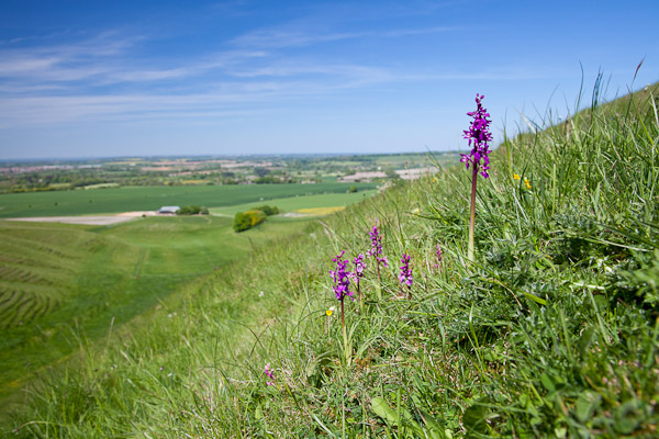 Early purple orchids on the Wiltshire Downs