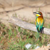 European Bee-eater bee eaters - spain - photograph by Dave Kilbey