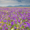 Flower Meadow in Extremadura - Spain - Photo by Dave Kilbey
