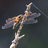 four spotted chaser dragonfly by Dave Kilbey