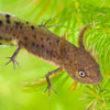 Great crested newt eft or larva