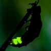 Glow Worm - female glowing at night