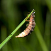 Glow Worm - female in daylight