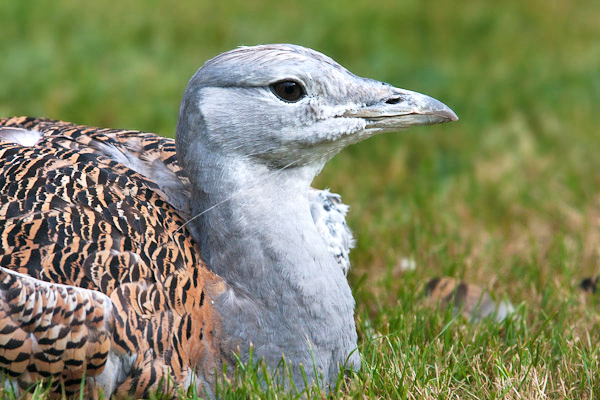 Great Bustard by Dave Kilbey