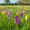 Green winged orchid flowers in a meadow - Dave Kilbey