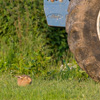 Brown hare crouching in grass next to tractor