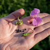 Himalayan Balsam flower flowers seed pod and seeds