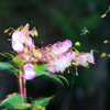 Himalayan Balsam seed pods exploding and scattering seeds