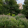 A dense stand of Himalayan Balsam on a river bank