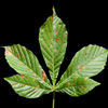 Horse Chestnut Tree Leaf
