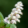 Horse Chestnut Tree Flower - Dave Kilbey