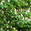 Horse Chestnut Tree Flowers - Dave Kilbey