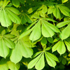Horse Chestnut Tree Leaves - Dave Kilbey