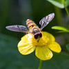 Close up of hover fly on lesser spearwort, Ranunculus flammula, by Dave kilbey