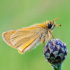Small Skipper butterfly - Thymelicus sylvestris, by Dave Kilbey