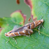 Pair of copulating horse chestnut leaf mining moths